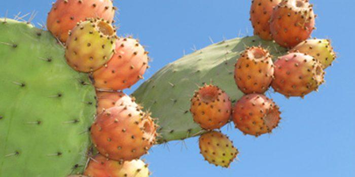 ¿Cuáles son las propiedades del higo chumbo?