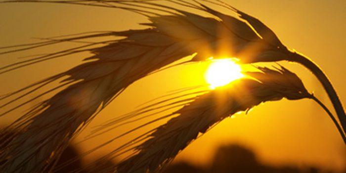 Beneficios y propiedades de la Cebada