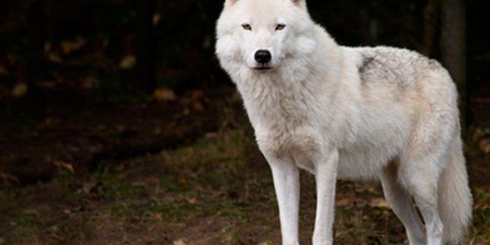 Simbolismo del Lobo, el gran Maestro