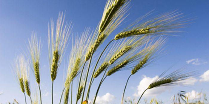 Propiedades del aceite de germen de trigo