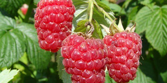 La frambuesa, la fresa del bosque