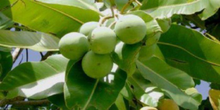 Aceite de Tamanu: valioso aliado para el cuidado de la piel