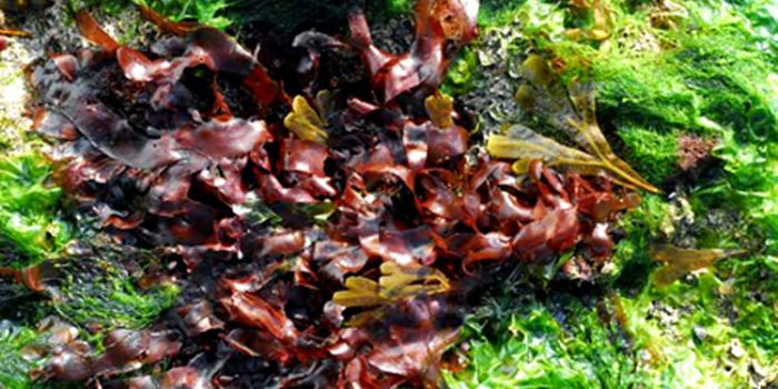 Propiedades del alga Dulse