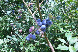 arandanos-azules