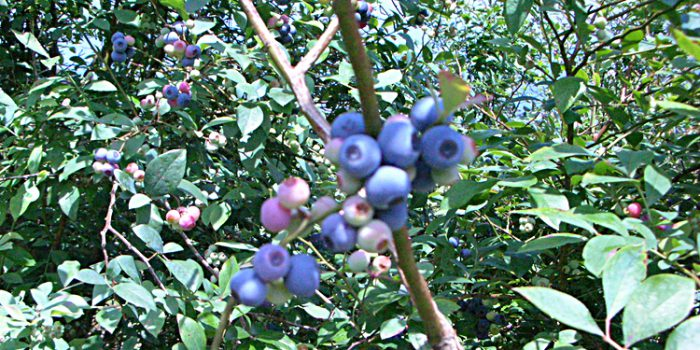 Arándanos azules, antioxidantes silvestres