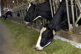 granja-vacas-carne