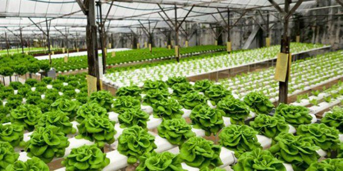 Cultivo hidropónico, ¿qué es y cuáles son sus características?