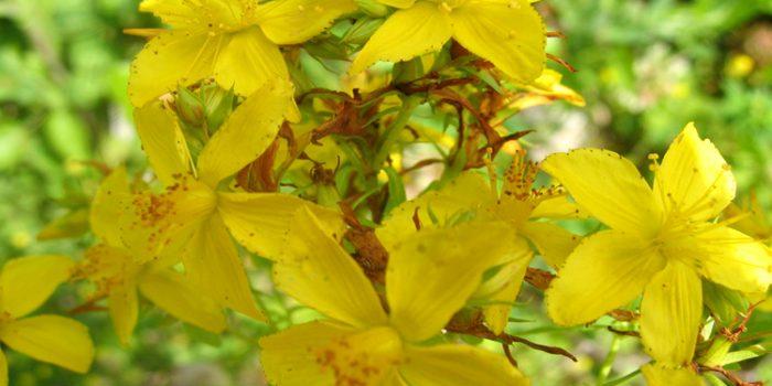 La hierba de San Juan, la planta que da alegría
