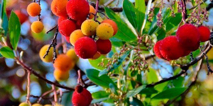 Propiedades del madroño: un potente antioxidante