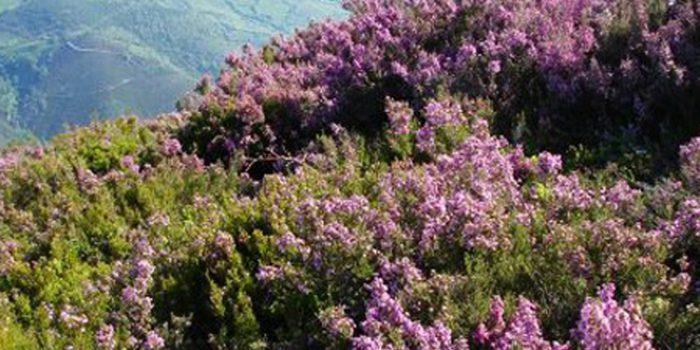 Beneficios y propiedades de la miel de brezo