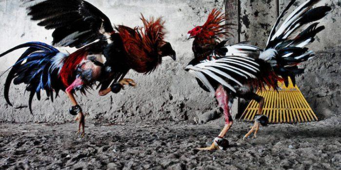 Contra las peleas de gallos