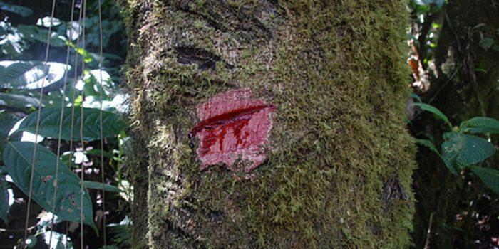 Usus y propiedades de la Sangre de Drago