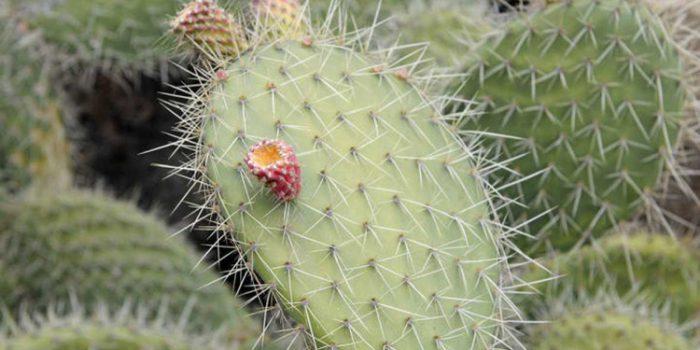 Pink Mulla Mulla - Ptilotus helipteroides