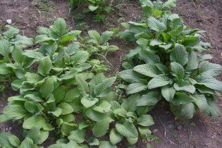 verdura-borraja